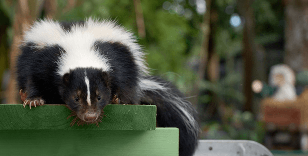 How to remove skunk smell
